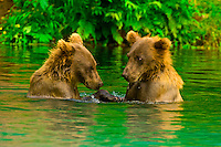 Twin brown bear cubs playing in the water, Big River Lakes (near Reboubt Bay Lodge), Cook Inlet, Alaska