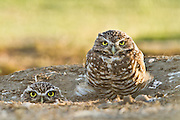 These adult burrowing owls still aren't too old to play peek-a-boo!  In reality, these owls nest in burrows, usually excavated by prairie dogs and squirrels.  If danger approaches, they will retreat to their burrow or fly off in the other direction to distract any intruders from the nesting site.  Northern California.