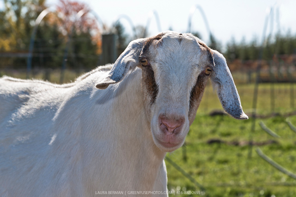A curious Nubian dairy doe goat.