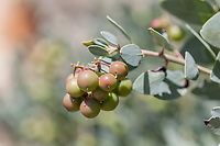 Arctostaphylos glauca (Bigberry Manzanita) at Grizzly Flat, Angeles NF, Los Angeles Co, CA, USA, on 14-Apr-18
