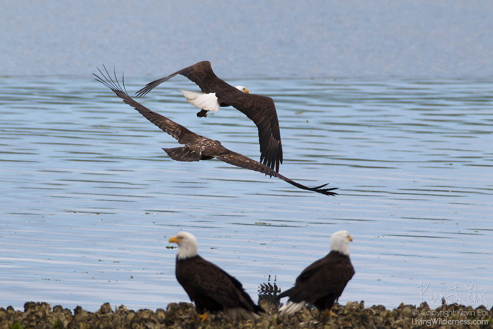 A juvenile bald eagle (Haliaeetus leucocephalus) chases an adult bald eagle that just caught a fish in Hood Canal, Washington. Hundreds of bald eagles congregate in the area near the town of Seabeck early each summer to feast on migrating midshipman fish that get trapped in oyster beds during low tides.