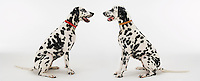 Two Dalmatians sitting face to face