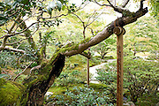 large branch of a very old tree supported in the Shugakuin Imperial villa garden Tokyo Japan