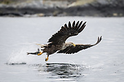 White-tailed eagle grasps a fish with its talons in Smøla, Norway.