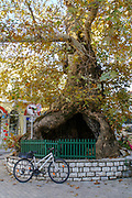 Ancient gnawed and hallow tree in the old town of Kavala,  Macedonia, Greece