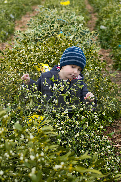© Licensed to London News Pictures. 10/12/2013. Tenbury, Shropshire, UK. Pictured, Selbie Crump (3), pictured amongst the mistletoe on sale. The last auction this year of Mistletoe and Holly took place in Tenbury today. The age long traddition of selling Mistletoe and Holly takes place every year in the town of Tenbury that sits on the Shrophire border. The sale which attracts farmers and wholesalers from around the area is organised by auctioneer Nick Champion who has presided over the sale for many years. Photo credit : Dave Warren/LNP