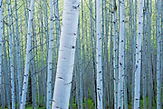 Dawn light in the Kebler Pass Aspen forest, Colorado