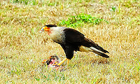 Caracara seen in Hendry County, , Florida on the side of the road. It was defending its meal - half a rabbit - from two turkey vultures.