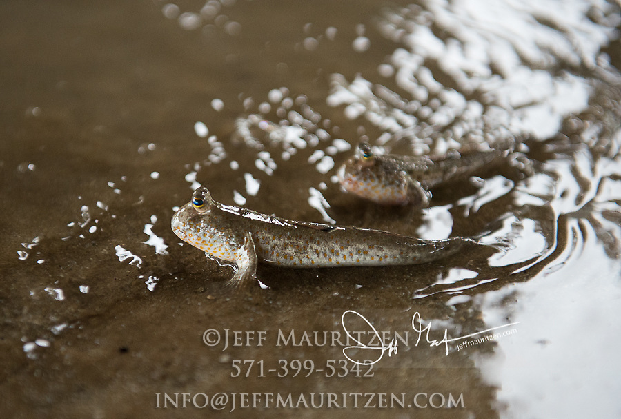 Mudskippers in the mud flats of Bako National Park, Borneo, Malaysia.
