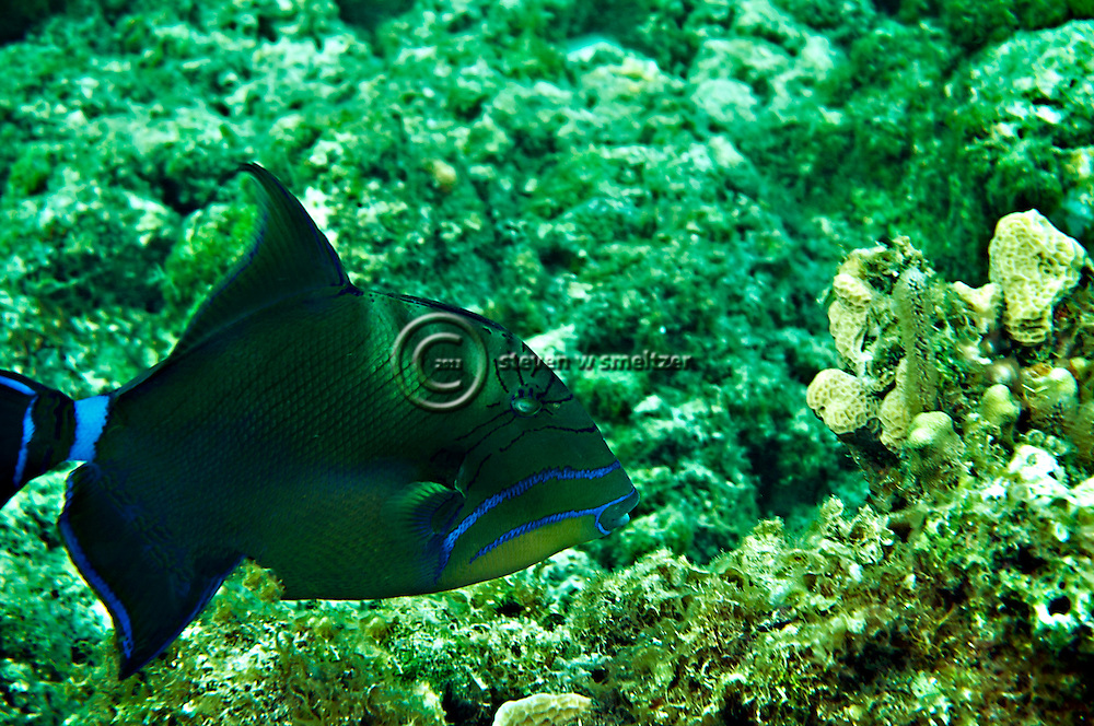 Queen Triggerfish, Balistes vetula, Grand Cayman