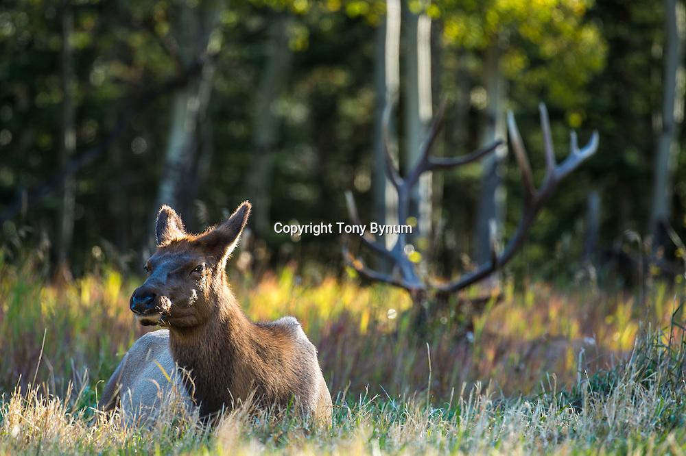 rutting bull elk bedded behind cow elk in grass