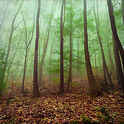 Deciduous forest on a misty day in early Spring