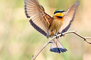 A Little Bee-eater lands on a branch with it's wings spread out.  Botswana.