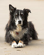 Uncle Murphy, of Boise, Idaho, and Cannon Beach, Oregon, is a gorgeous Australian Shepherd