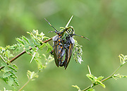 Two Giant Mesquite Bugs (Thasus gigas) mating on an acacia bush, San Juan Cosala, Jalisco, Mexico