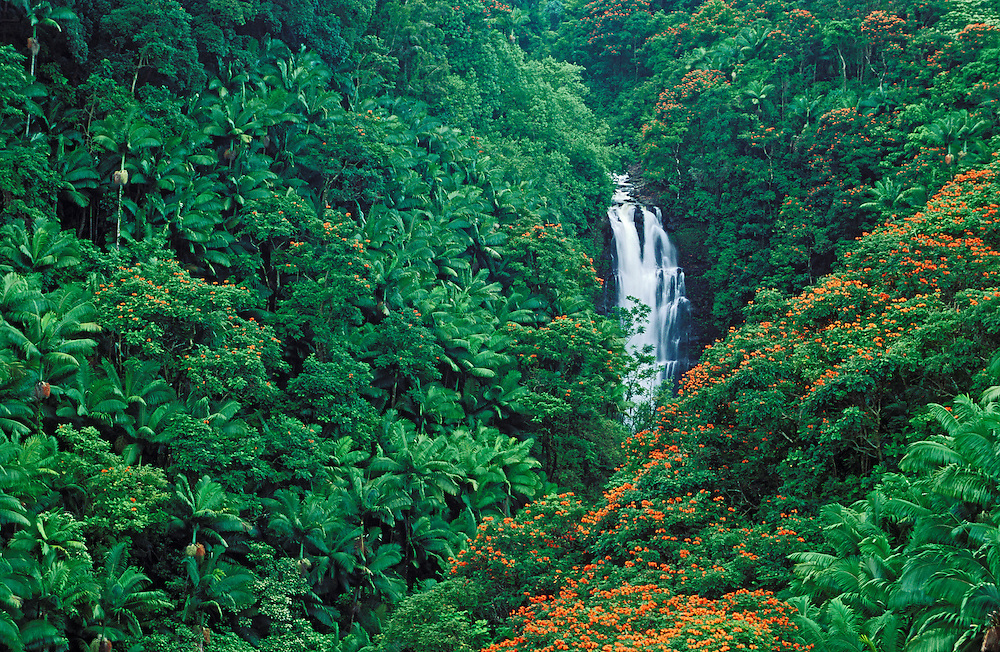 Nanue Falls and tropical forest with orange blossoms of African Tulip Trees; Hamakua Coast, Island of Hawaii..