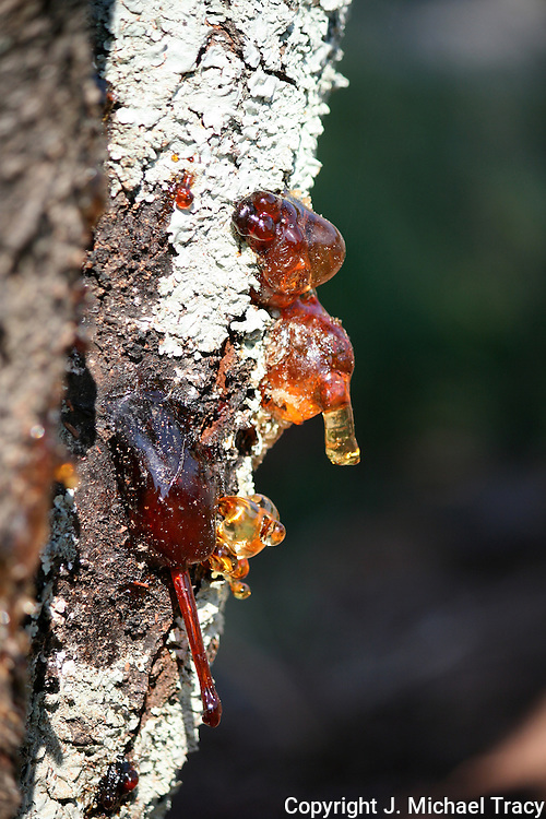 Hardened Amber sap leaking from some sort of Crab Apple tree.