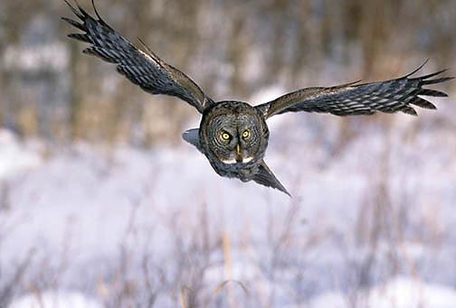 Great Gray Owl, (Strix nebulosa) Adult in flight, hunting. Manitoba, Canada.