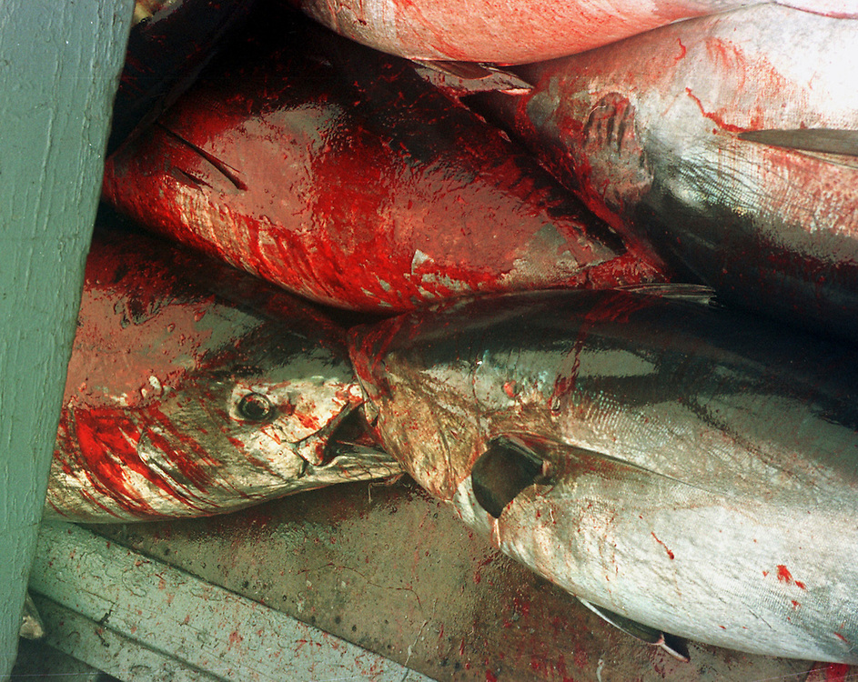 Caught tuna waiting to be processed  by Japanese factory ship in the Spanish port of Barbate.