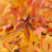 """Colors of Sweetgum Too"" <br />