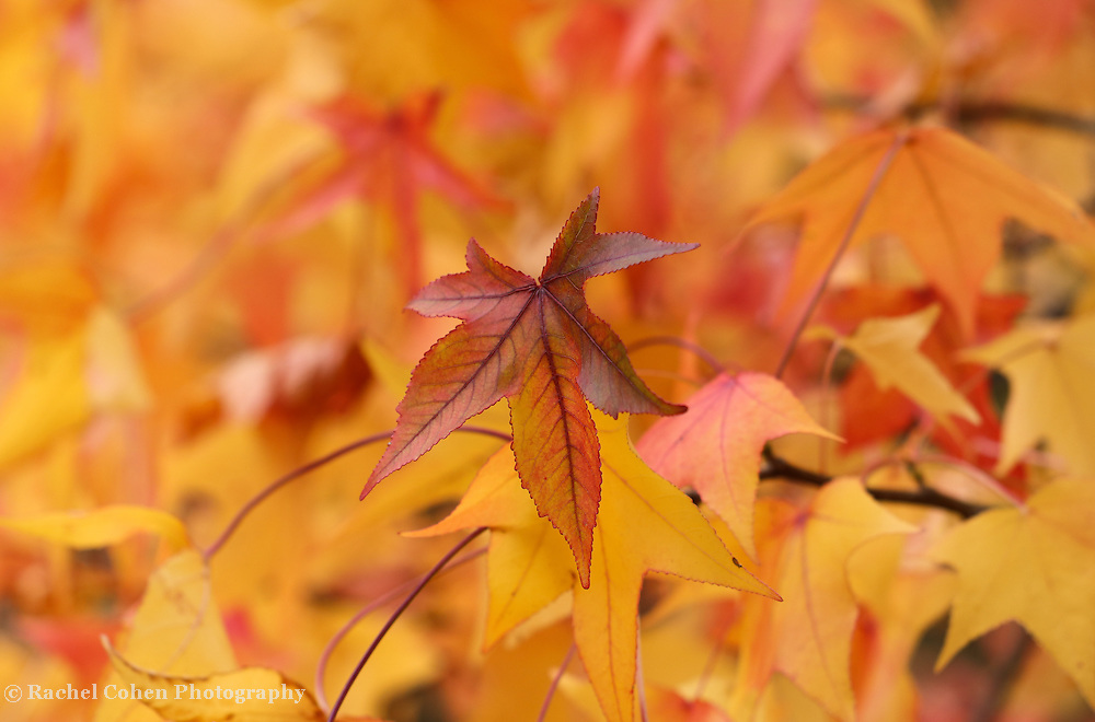 &quot;Colors of Sweetgum Too&quot; <br /> <br /> Amazing colorful Sweetgum leaves in fall!