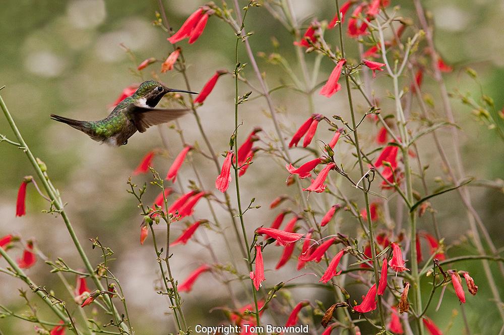 Broad tailed humming bird feeding on a Penstemon