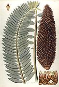 Hand painted botanical study of Zamia longifolia from Fragmenta Botanica by Nikolaus Joseph Freiherr von Jacquin or Baron Nikolaus von Jacquin (printed in Vienna in 1809)