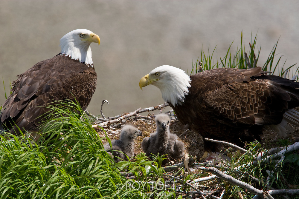 American Bald Eagles with chicks protecting the nest, Katmai National Park, Alaska