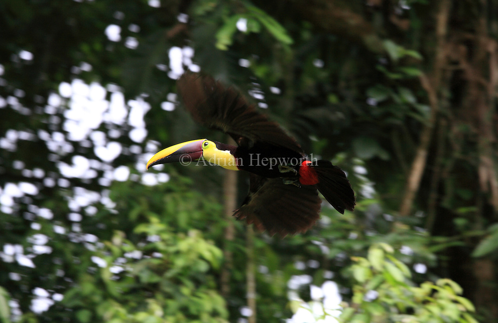 Chestnut-mandibled Toucan (Ramphastos swainsonii) flying through rainforest, La Selva Biological Station, Costa Rica. <br />