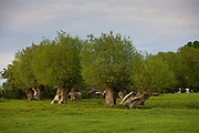 Line of pollarded Willow trees in The Cotswolds, Gloucestershire, UK
