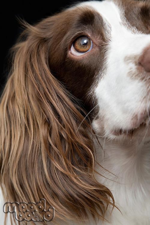 English Springer Spaniel close-up