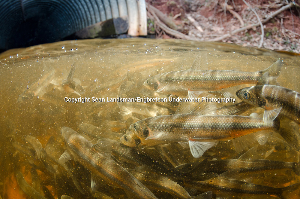 Rainbow Smelt (trying to navigate a culvert to move upstream)<br />