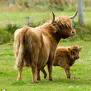 Highland Cattle near Thurso Caithness) Scotland Aug 4 2007