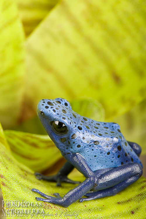 BLUE POISON FROG (Dendrobates azureus)