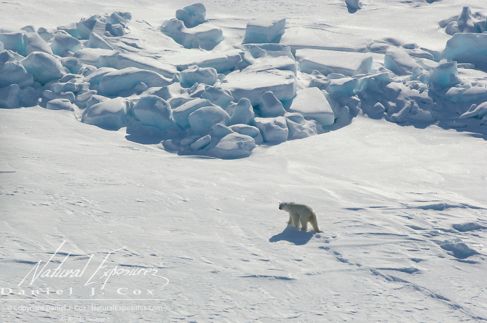 A polar bear (Ursus maritimus) makes its way across the Beaufort Sea Ice pack. Kaktovik, Alaska