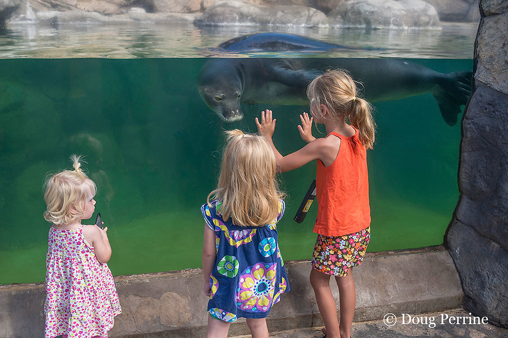 children admire KP2 or Ho'ailona, a young male Hawaiian monk seal, Monachus schauinslandi ( endemic and critically endangered species ) Waikiki Aquarium (c), Honolulu, Oahu, Hawaii, U.S.A.