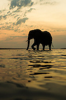 African elephant bull crossing the Chobe River after sunset, Chobe River, Kasane, Botswana.