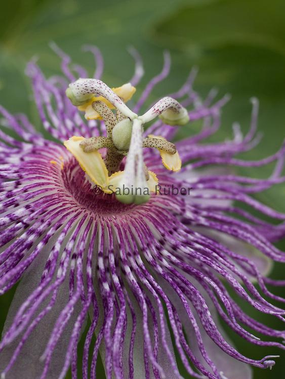 Passiflora incarnata - wild passion flower