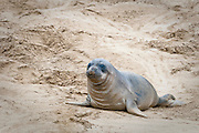 A young elephant seal pup in the sand at Ana Nuevo State Park in California.