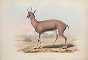 Cuvier's gazelle (Gazella cuvieri) listed as Antelope cuvieri From the book Zoologia typica; or, Figures of new and rare animals and birds described in the proceedings, or exhibited in the collections of the Zoological Society of London. By Fraser, Louis. Zoological Society of London. Published by the author in London, March 1847