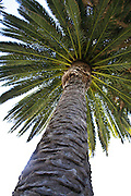 Orange County California Canary Island Date Palm Tree