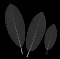 X-ray image of a rhododendron leaf trio (Rhododendron, white on black) by Jim Wehtje, specialist in x-ray art and design images.
