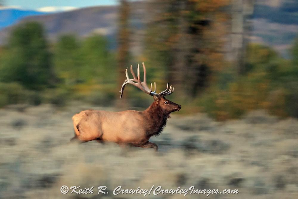 Bull elk running across a sage flat at daybreak.