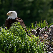 Bald Eagle, (Haliaeetus leucocephalus), our national bird, sitting on the nest with two chicks in Kukak Bay along the Katmai Coast, Alaska.
