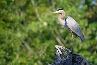 Great blue heron, Ardea herodias, Annapolis, Maryland, USA