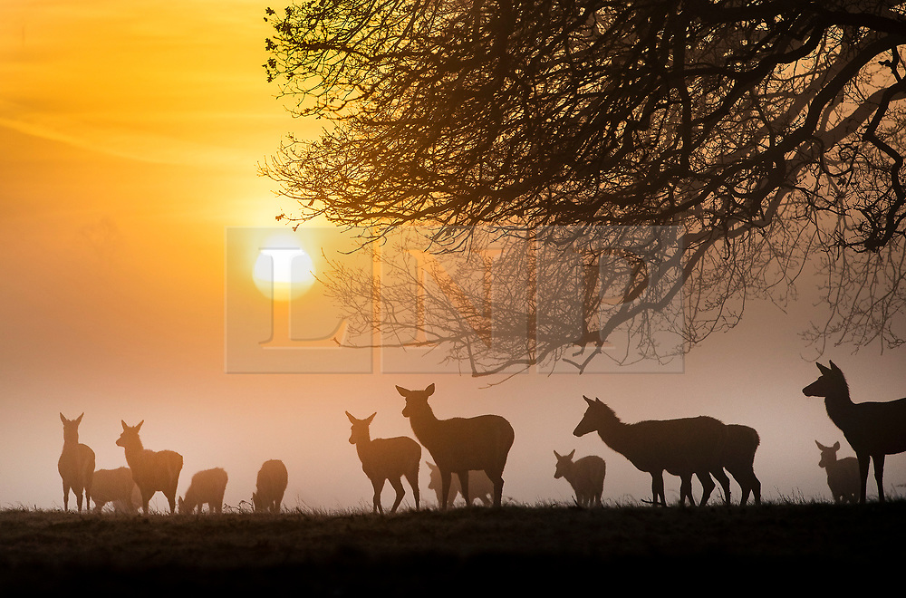 © Licensed to London News Pictures. 14/02/2019. London, UK. Deer feed at first light in Bushy Park. Clear skies and warmer temperatures are expected in the south later today. Photo credit: Peter Macdiarmid/LNP
