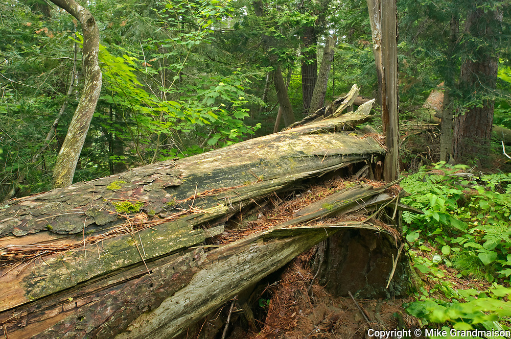 Old growth pine trees in White Bear Forest<br />Temagami<br />Ontario<br />Canada