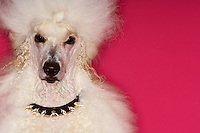 White Poodle on pink background close-up