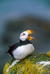 horned puffin, Fratercula corniculata, St. George Island, The Pribilofs, Alaska, Pacific Ocean