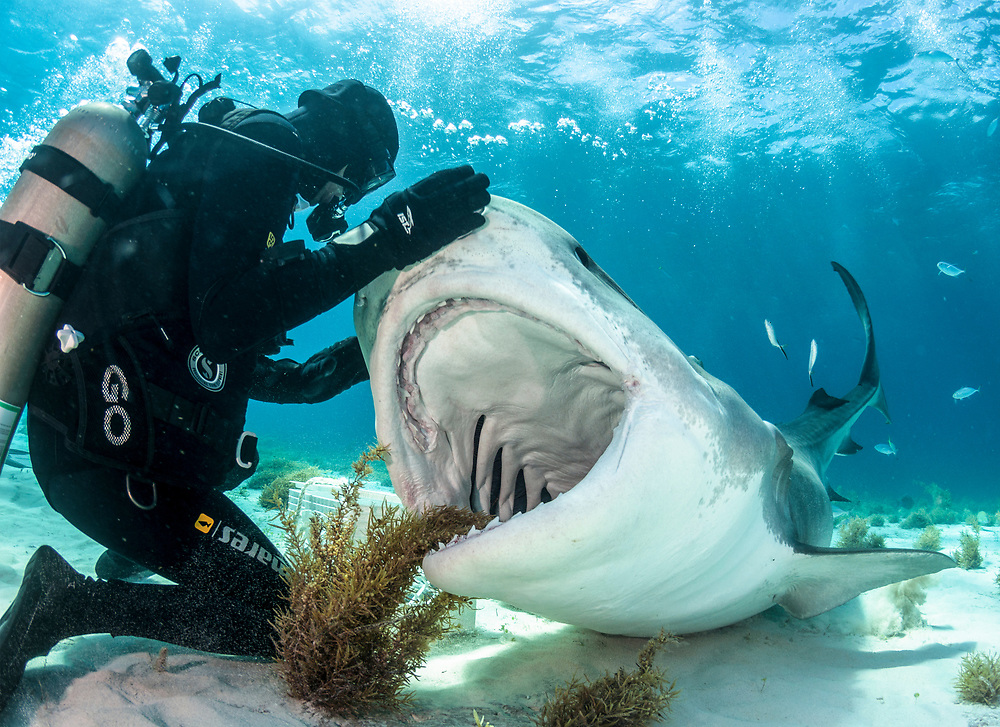 Professional shark feeder and conservationist Vincent Canabal feeds a large tiger shark known as Emma. While shark feeding is certainly controversial, to date all studies have shown the positives far outweigh the negatives.